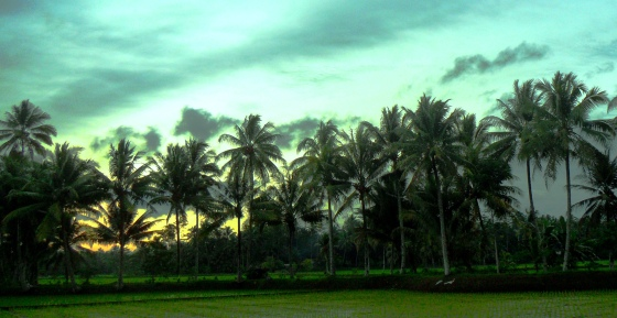 Natural Coconut Trees